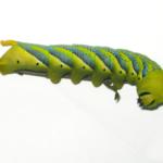 Acherontia atropos caterpillar