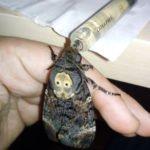 Acherontia atropos feeding death head moth