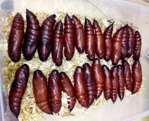 Acherontia atropos pupae
