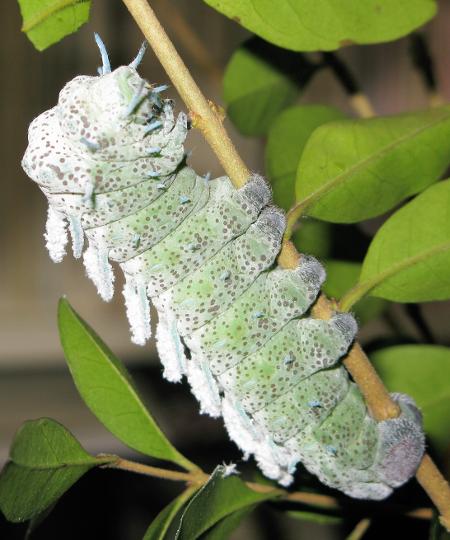 Attacus atlas caterpillar