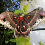 Hyalophora cecropia female