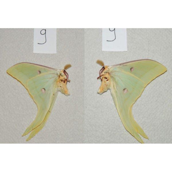 Actias selene x Actias luna hybrid specimen died unmounted lepidoptera