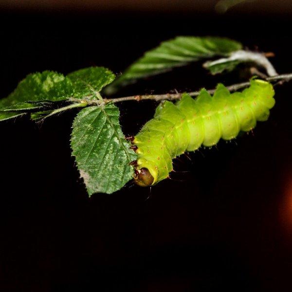 Actias luna caterpillar