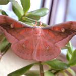 Antheraea jana male pink