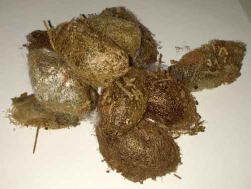 Antherina suraka saturniidae for sale cocoons