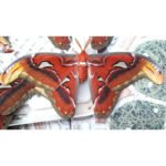 Attacus atlas adult male thailand cocoon