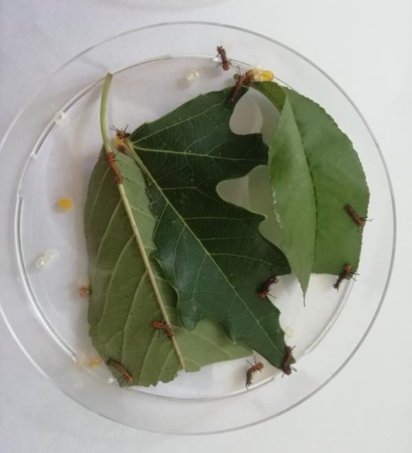 Petri dish eacles imperialis caterpillars