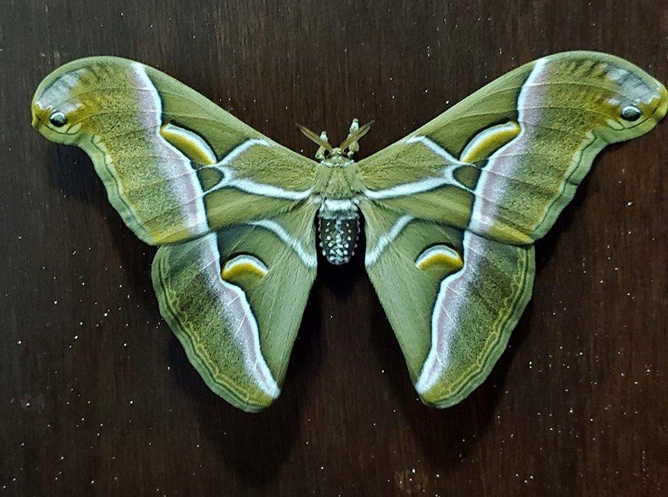 Samia cynthia male lepidoptera for sale