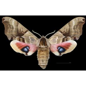 Smerinthus jamaicensis adult sphingidae