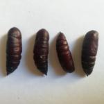 Smerinthus jamaicensis pupae
