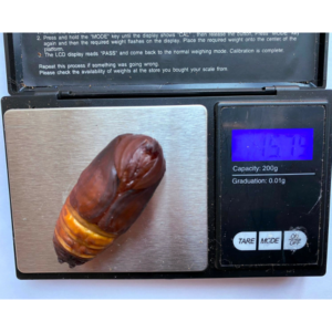 Attacus atlas pupa cocoon