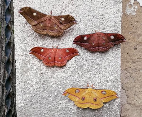 Antheraea jana moth Saturniidae pupae for sale