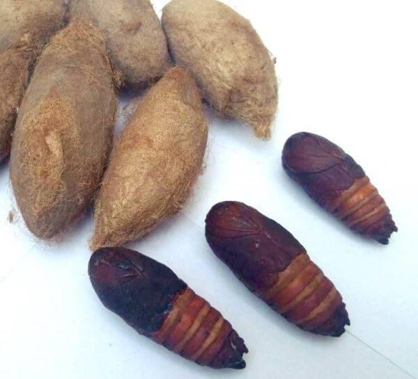 Attacus atlas pupae cocoons