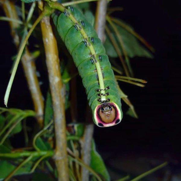 Cerura vinula caterpillar moth eggs