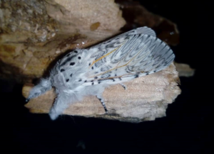 Attacus atlas moth cocoonsfor sale