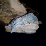 Cerura vinula adult puss moth