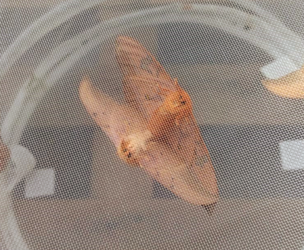 Cricula trifenestrata lepidoptera breeding rearing