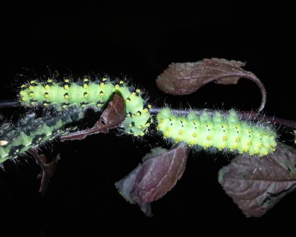 Saturnia pavonia eggs moth breeding