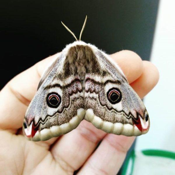 Saturnia pavoniella eggs saturniidae lepidoptera breeding livestock for sale moth