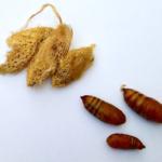 Cricula trifenestrata golden silk saturniidae