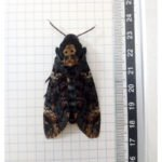 death's-head hawkmoth for sale