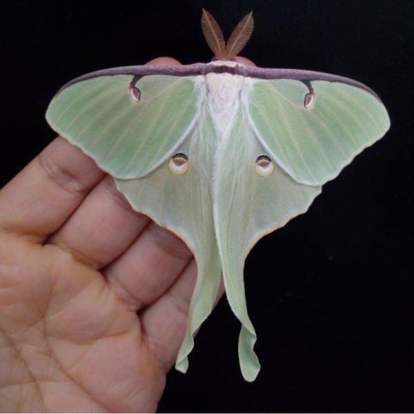 actias luna moon moth saturniidae