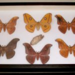 dried unmounted lepidoptera