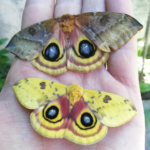 io moth live insects