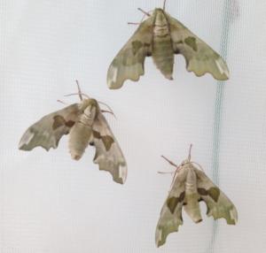 Mimas tiliae live moth eggs for sale