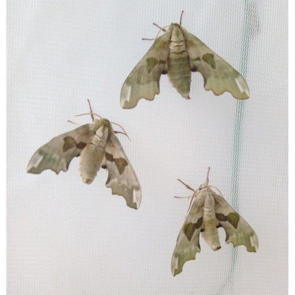 live Mimas tiliae moth eggs for sale