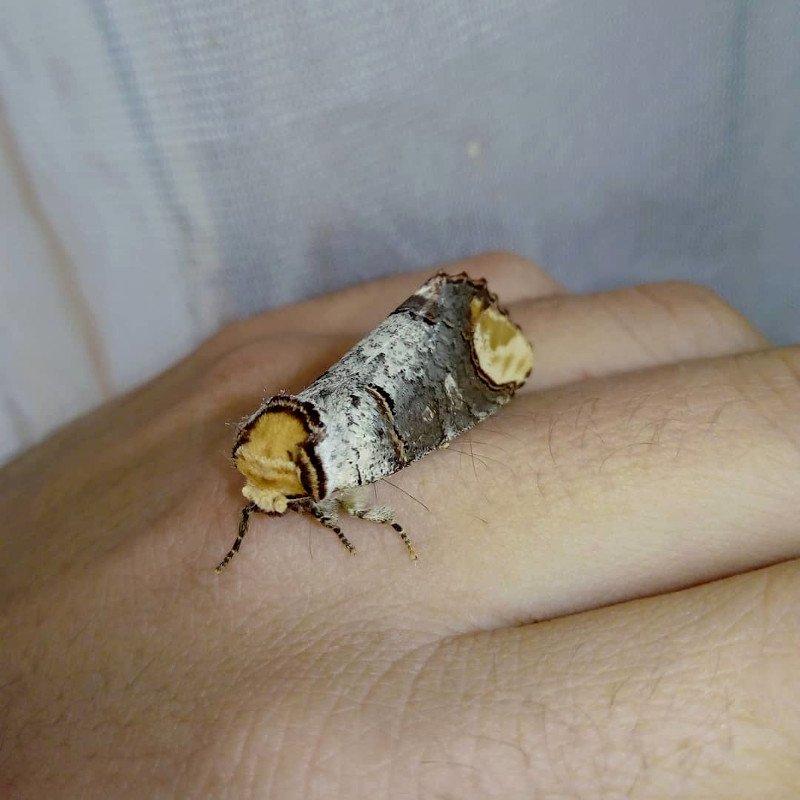 phalera bucephala notodontidae buff-tip moth