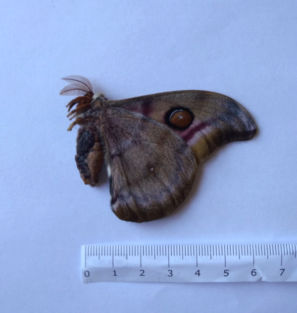 Dry lepidoptera for sale