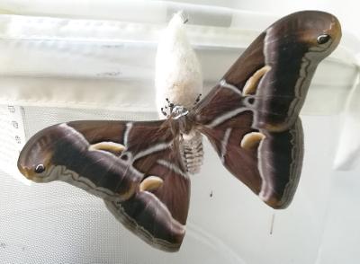 Eri silk moth Bombycoidea