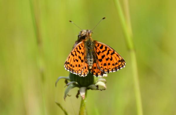 butterflies for sale lepidoptera