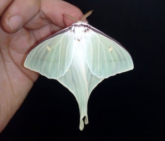 actias gnoma lepidoptera saturniidae eggs livestock japanese moon moth