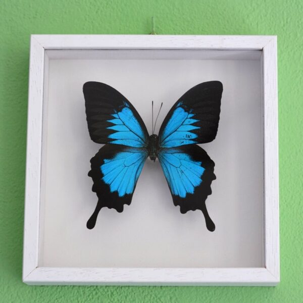 Papilio Ulysses butterfly frame decoration