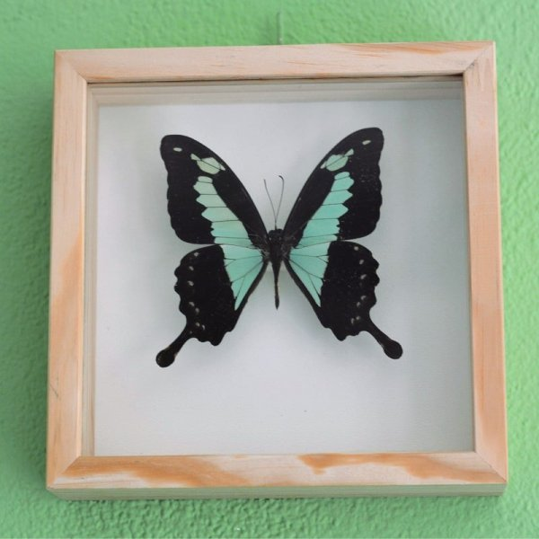 Papilio phorcas butterfly frame decoration