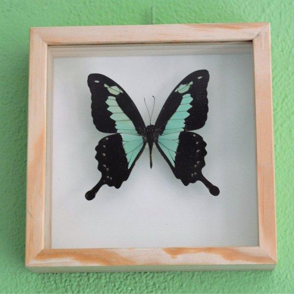 Papilio phorcas butterfly frame decoration