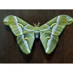 Samia cynthia moth eggs for sale saturniidae