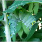 samia cynthia caterpillar livestock eggs silk moth