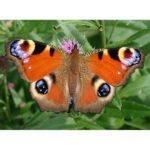 Aglais io live butterfly
