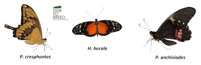Papilio Heliconius Morpho Caligo