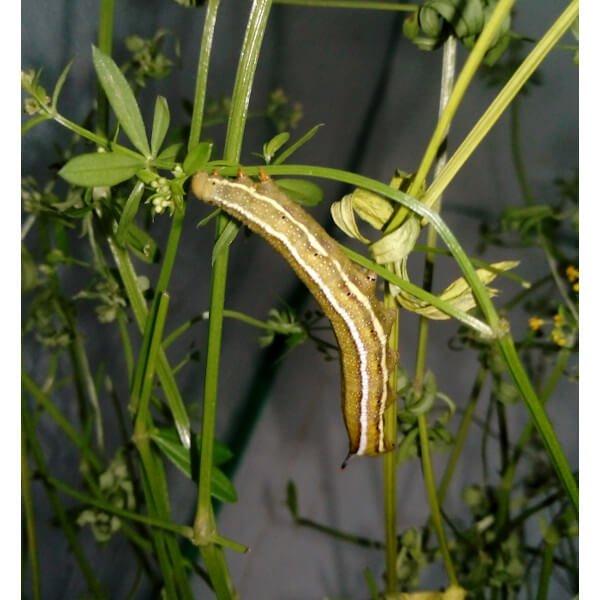 Macroglossum stellatarum pupae