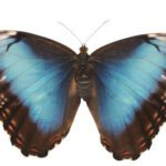 Morpho tropical butterfly for sale
