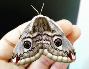 Saturnia pavoniella female