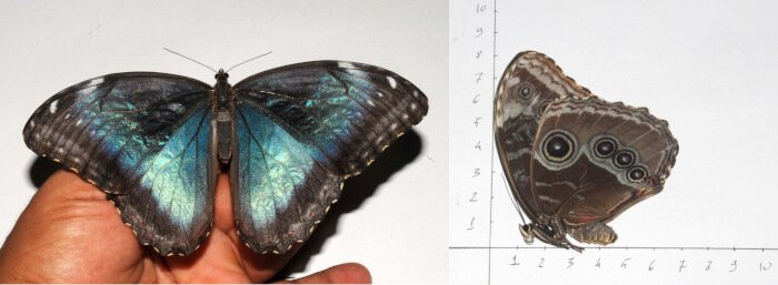 Morpho helenor aberration