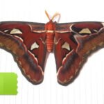 attacus atlas aberration for sale
