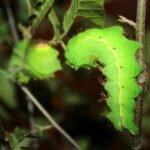 chinese silk moth larvae