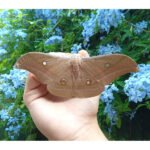 Antheraea pernyi chinese silk moth