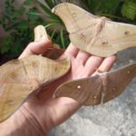 Antheraea pernyi adults male